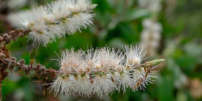 Fleur de l'arbuste de Cajeput.