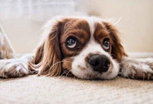 Un chien couché au sol.