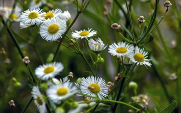 Fleurs d'une belle floraison de camomille romaine.