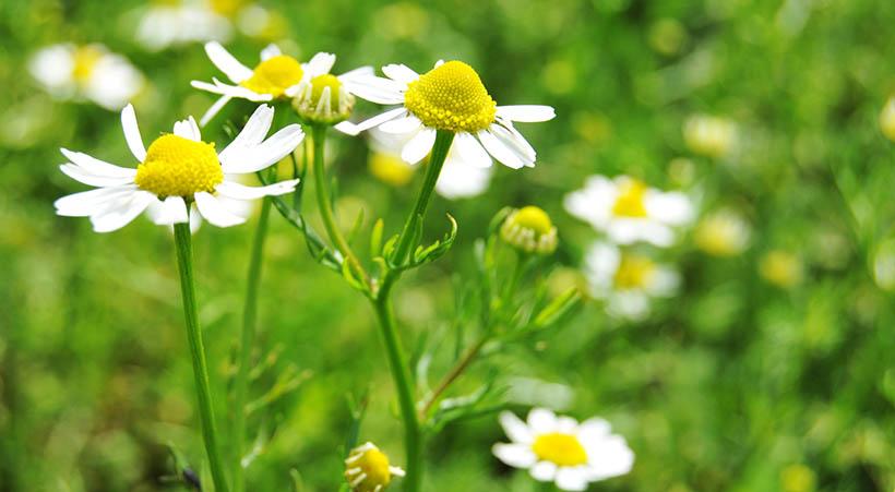 Fleurs de Camomille.