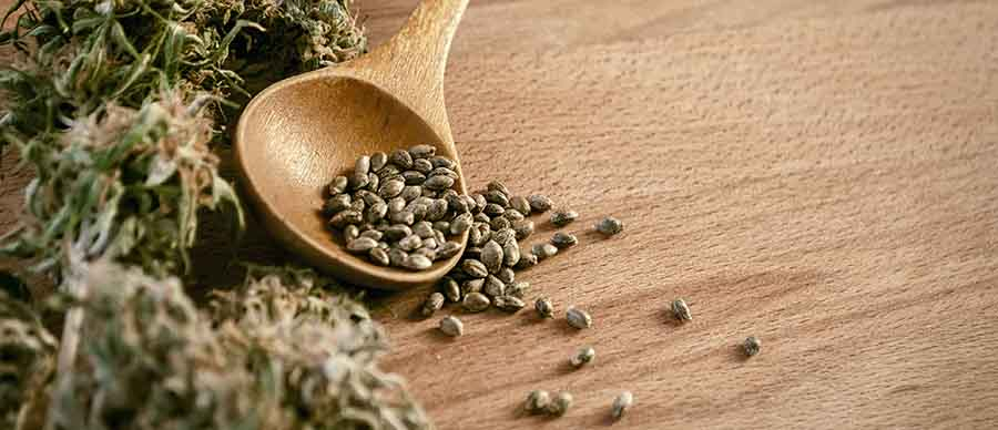 Cuillére de graines de cannabis.