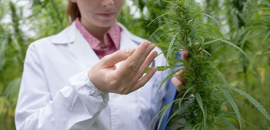 Teste de qualité sur un plant de cannabis.