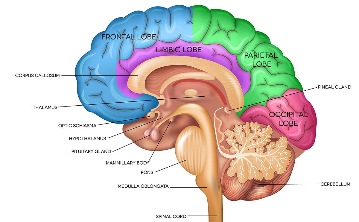 Découpe imagée du cerveau.