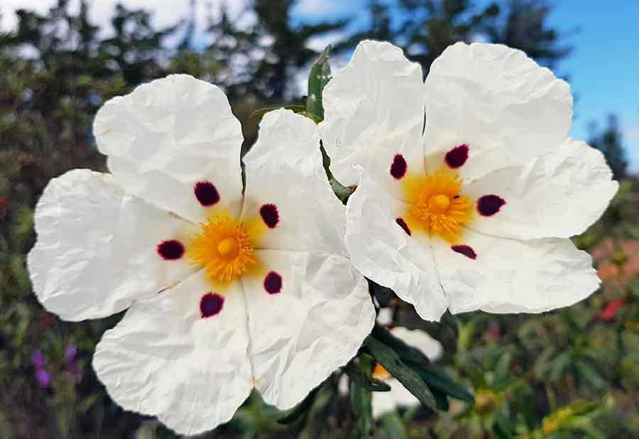 Fleur de Ciste pour la frabrication d'huilles essentielles.